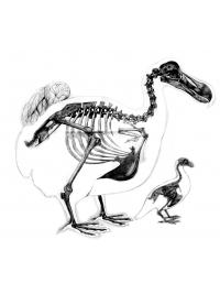 Dodo Lithograph by Research: Dodo