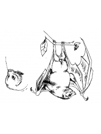 Fruit Bat Sketches 1 by Research: Lesser Mascarene Fruit Bat