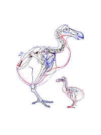 Working drawing from Dodo skeleton by Research: Dodo