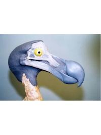 Dodo Head by Reconstruction: Dodo