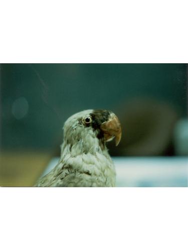 Mascarene Parrot specimen
