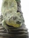 Rodrigues Giant Gecko