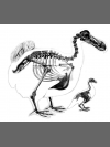 Dodo Lithograph by Research: Dodo