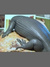 Skink in clay by Reconstruction: Mauritius Giant Skink