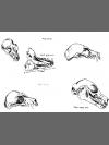 Fruit Bat Sketches 2 by Research: Lesser Mascarene Fruit Bat